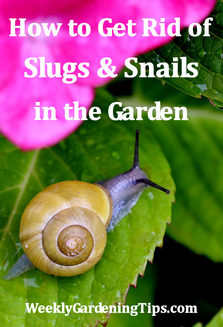 How to get rid of slugs and snails in the garden weekly - How to get rid of slugs in garden ...