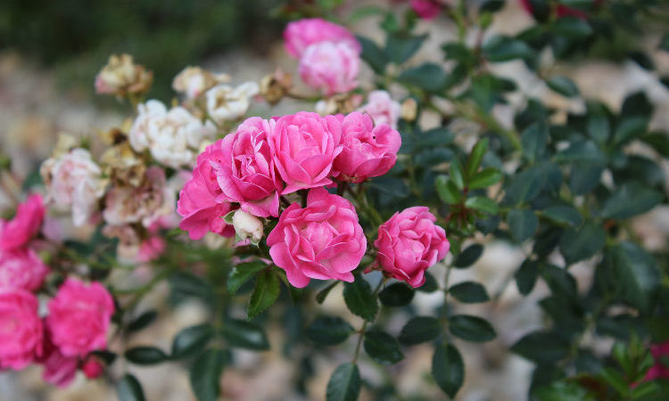 Planting Roses in Containers