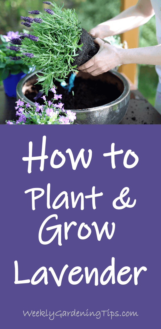 How to plant and grow lavender